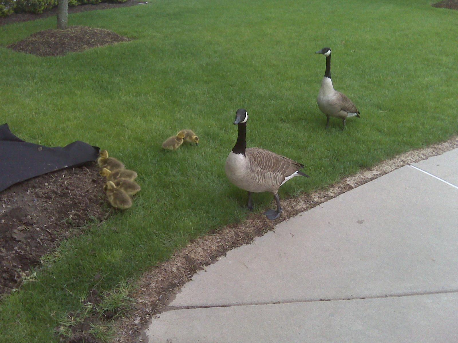 ABG Capital Baby Geese